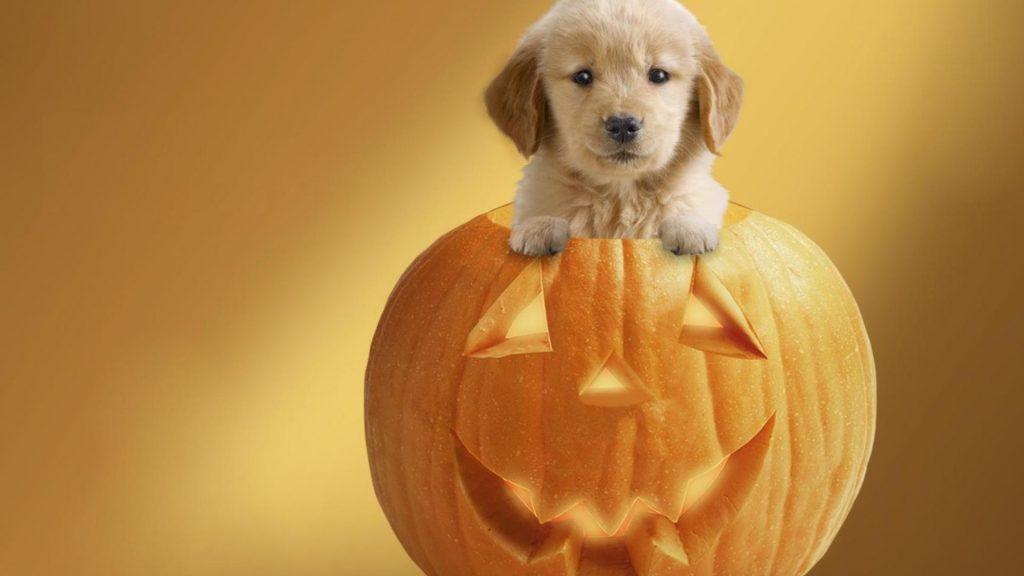 Cute Puppy in the pumpkin