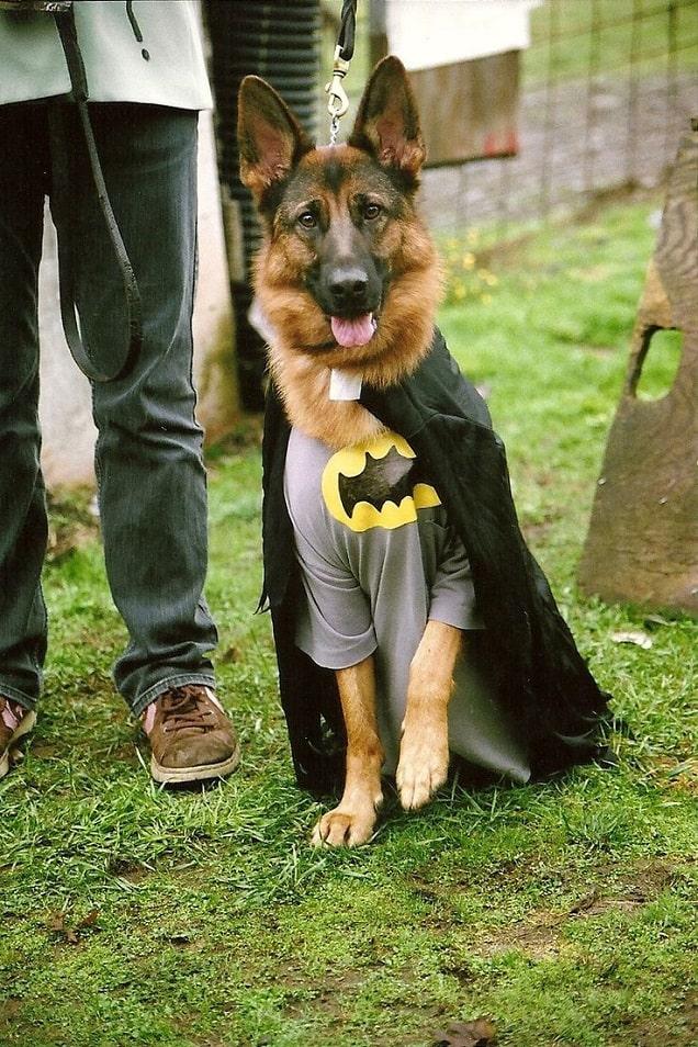 Dog are wearing batman costume