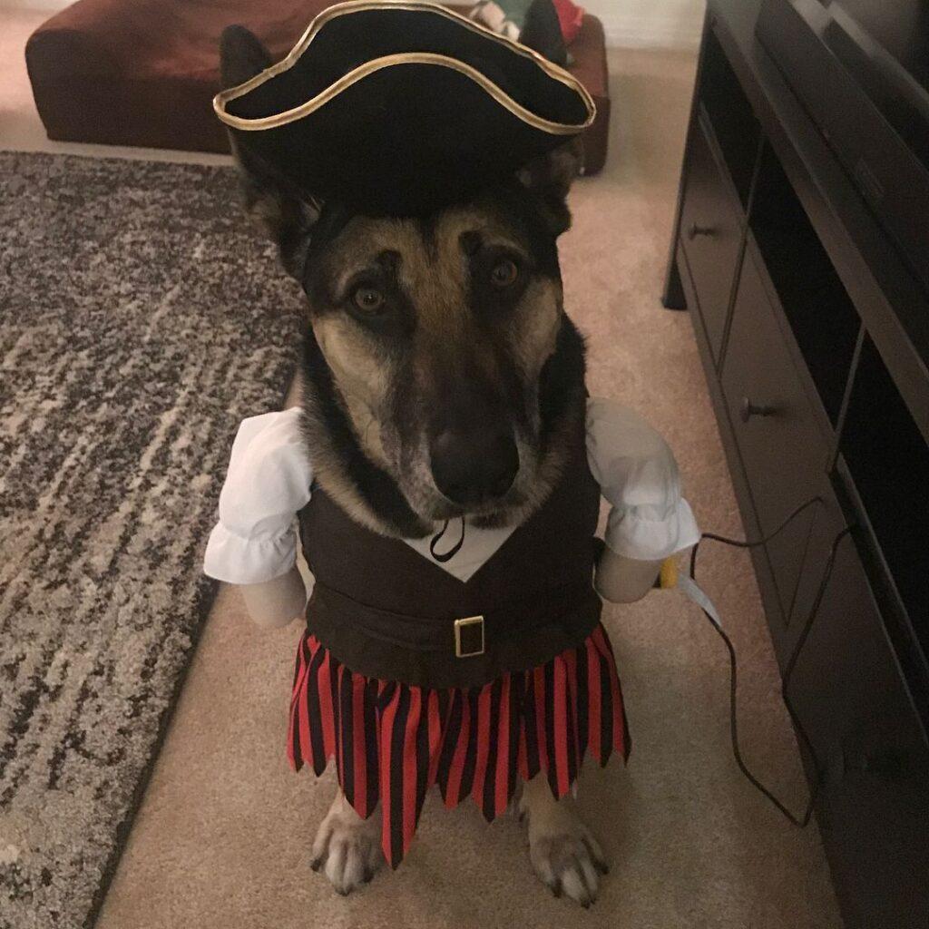 cute dog wearing a pirate dress
